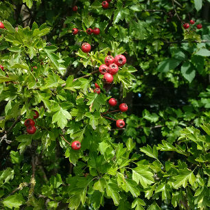 deep green hedge with red berries